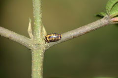 Tropical sowbug. On a tree stock photo