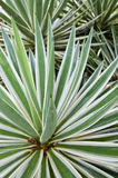 Tropical spear plant Stock Image