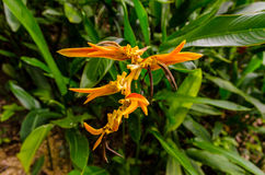 Tropical Spice Garden in Penang, Malaysia. Golden Torch Heliconia at the Tropical Spice Garden in Penang Royalty Free Stock Images