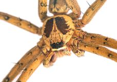 Tropical spider head and eyes macrophoto. Crab spider or thomisidae closeup. Royalty Free Stock Images