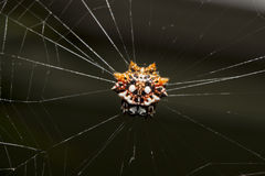 Tropical spider with its prey Stock Photos