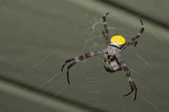 Tropical spider with its prey Royalty Free Stock Image