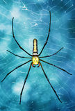 Tropical spider - nephila in the web Stock Image