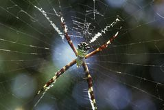 Tropical spider in web, Key West, FL Stock Photo
