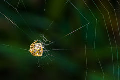 Tropical spider web. Stock Photo