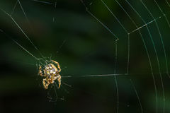 Tropical spider web. Stock Images