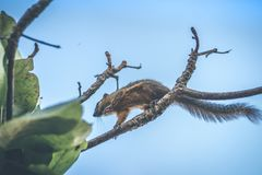 Tropical squirrel. Bali island. stock images
