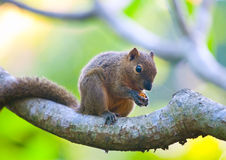 The tropical squirrel on a branch of a tree Royalty Free Stock Photo