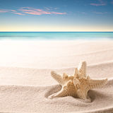 A tropical starfish laying in the beach sand Royalty Free Stock Image