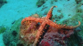 Tropical Starfish on Vibrant Coral Reef stock video footage