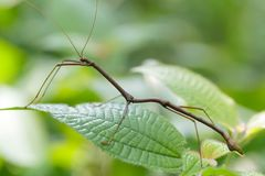 Tropical stick insect Royalty Free Stock Images