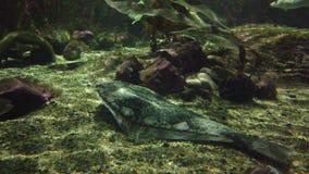 Tropical stingray fish in aquarium. Tropical fish swimming in an aquarium in a zoo stock video footage