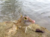 Tropical strange fish Royalty Free Stock Images