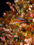 Tropical striped triplefin with dwarf hawkfish in background Stock Photo