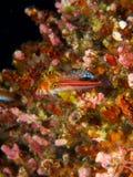 Tropical striped triplefin with dwarf hawkfish in background Stock Photo