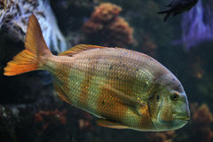 Tropical stripped fish. Stock Image