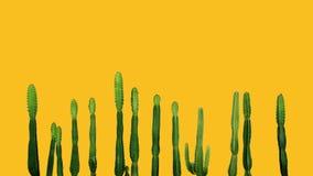 Tropical succulent plant Cowboy cactus Euphorbia Ingens isolat Royalty Free Stock Photo