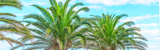 Tropical summer background with coconut Palm trees on the blue sky Stock Images
