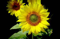 Tropical sunflower Royalty Free Stock Photography