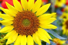 Tropical sunflower close up details royalty free stock photo