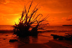 Tropical Sunset. Sun going down behind a fallen tree at the beach Royalty Free Stock Photos