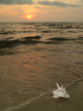 Tropical sunset beach with a natural Murex Ramosus shell stock photo