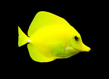 Tropical surgeon fish Royalty Free Stock Photos