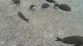 Tropical surgeonfish swim near the coral reef. Tropical fish surgeonfish swim under water near the coral reef stock footage