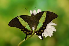 A tropical swallowtail butterfly in Southeast Asia royalty free stock image