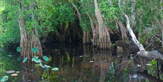 Tropical swamp. Swamp in tropical rainforest. Trees reflection. Old lake royalty free stock photo