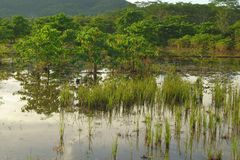 Tropical swamp. Tropical vegetation, swamps on the island of Siargao, Philippines Stock Photography
