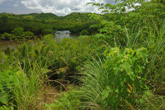 Tropical swamp Stock Images