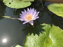 Tropical sweet purple water lilies in a pond on sunny day. With reflection of the sun in water serene peaceful green joy meditation aesthetic gardendesign stock images