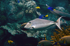 Tropical tang fish. Swimming in a pacific ocean Royalty Free Stock Photography