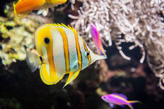Tropical tang fish Stock Images