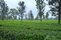 Tropical tea plantation in Subang, Indonesia. Beautiful view of fresh tropical tea plantation on the misty mornin in Subang, West Java, Indonesia Stock Photography