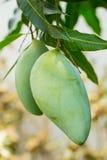 Tropical Thai Mango fruit Stock Images