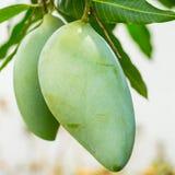 Tropical Thai Mango fruit Royalty Free Stock Image