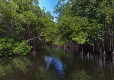 Tropical thickets mangrove forest on the Black river. Royalty Free Stock Images