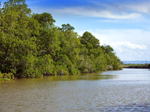 Tropical thickets mangrove forest on the Black river. Jamaica. Royalty Free Stock Image