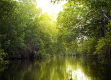 Tropical thickets mangrove forest on the Black river. Jamaica. Royalty Free Stock Photography