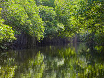 Tropical thickets mangrove forest.Landscape Stock Photos