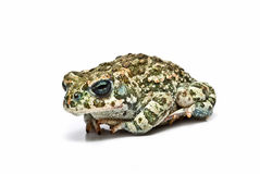 A tropical toad. Royalty Free Stock Photo