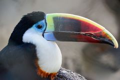 Tropical toucan bird against gray blured background. Portrait, close up view royalty free stock photo