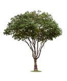 Tropical tree Stock Photos