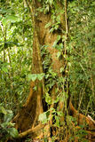 Tropical tree. Trunk of a tropical tree in costa rica Stock Images