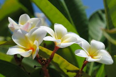 Tropical tree in blossom Royalty Free Stock Images