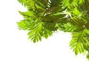 Tropical  tree branch with big leaves   isolated on white background.  Breadfruit tree. view from below Stock Photos