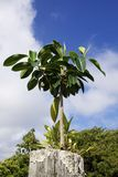 Tropical Tree on Fencepost Royalty Free Stock Image
