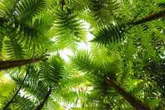 Tropical tree ferns Stock Photography